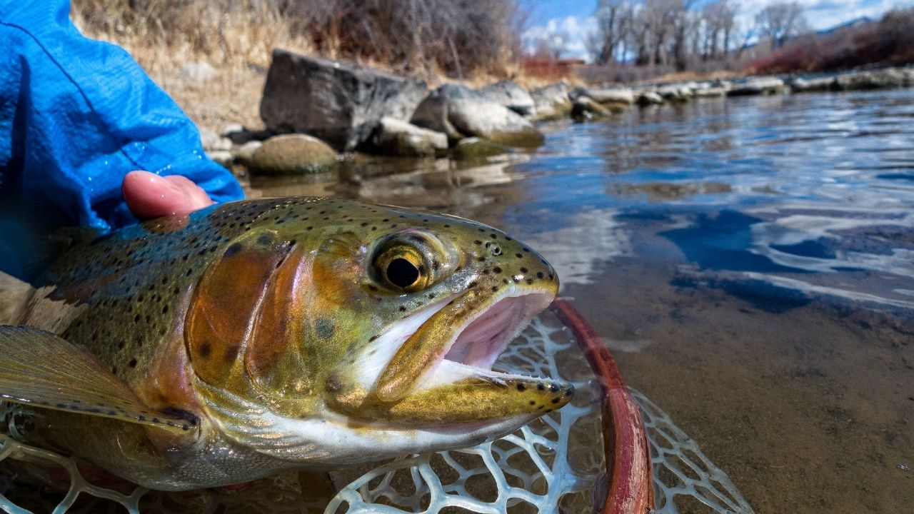 Avoid Excessively Handling Your Trout